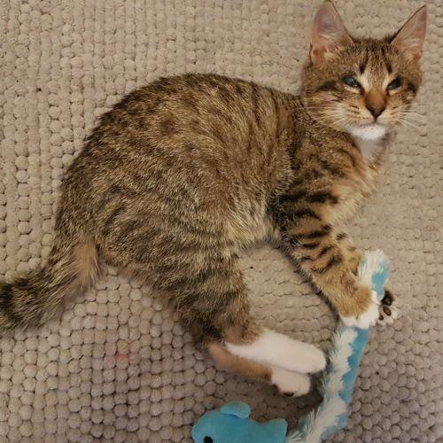 Taco (Located in Brighton East) - Domestic Short Hair Cat