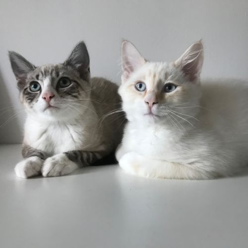 Coconut and Lychee  - Ragdoll Cat