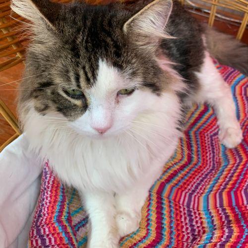 Rudolf  - Domestic Medium Hair Cat