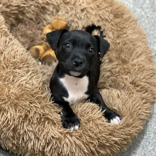 Ginny Weasley - Staffordshire Bull Terrier x Corgi Dog