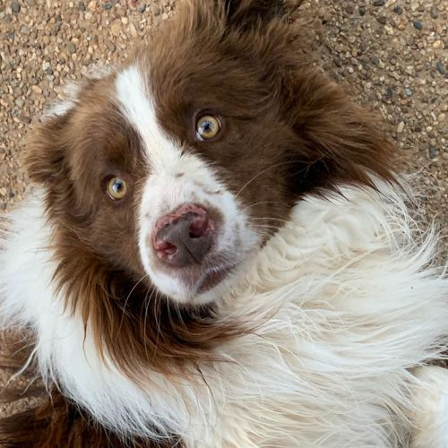 Zeus - Border Collie Dog