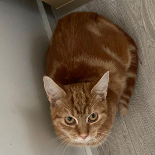 Tara - Domestic Short Hair Cat