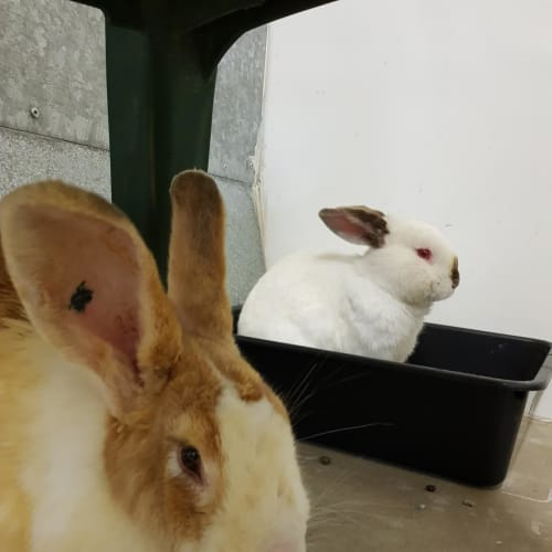 Marshmallow and Lollypop -  Rabbit