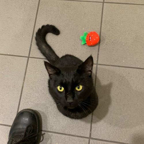 Nico - Domestic Short Hair Cat