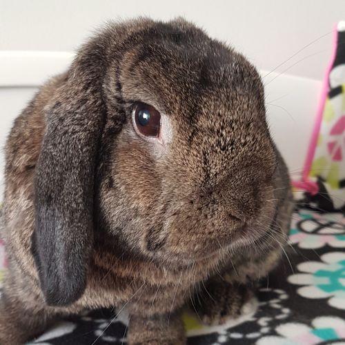 Frankie - Dwarf lop Rabbit