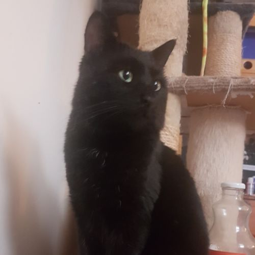 The General - Located in Coburg - Domestic Short Hair Cat