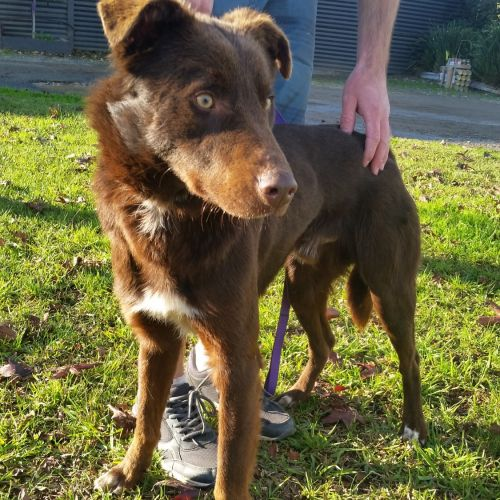 Flash  - Border Collie Dog