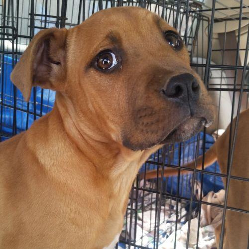 Daisy  - Bullmastiff Dog