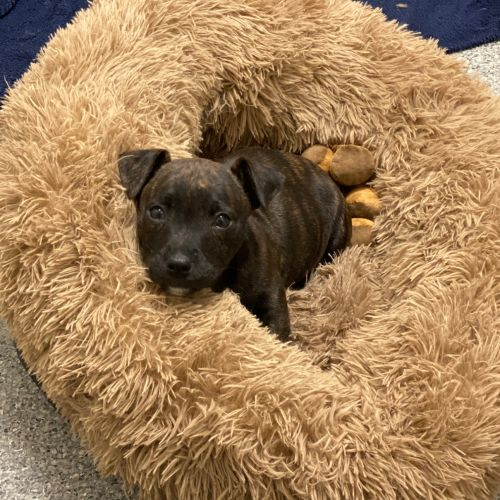 Seamus Finnigan - Staffordshire Bull Terrier x Corgi Dog