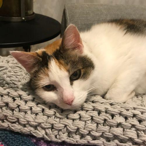 Gina ~ beautiful 9 year old cat - Domestic Short Hair Cat
