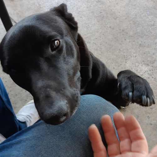 Tedster DL2515 - Kelpie Dog