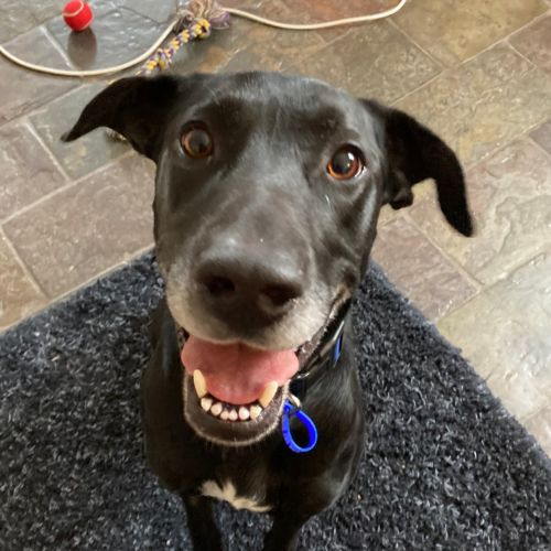 Holly ~ 3yr Greyhound x Labrador
