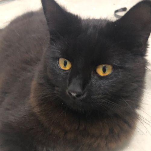 Mr Fluffman - Domestic Long Hair Cat