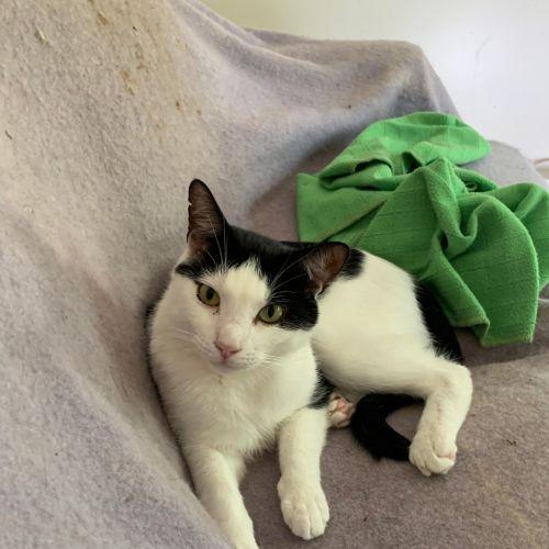 Junior - Located in Eltham - Domestic Short Hair Cat
