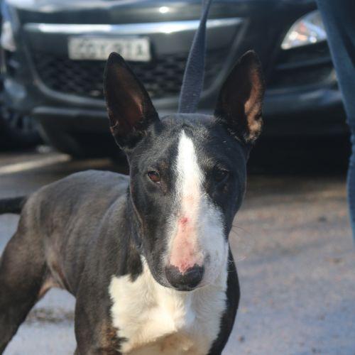 Sabina - Bull Terrier Dog