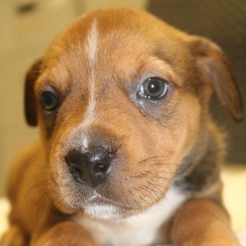 Praline - Staffy Dog