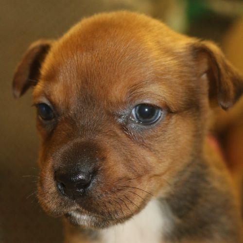 Eclair - Staffy Dog