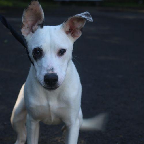 George - Greyhound x Staghound Dog