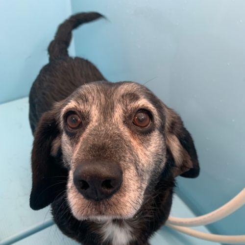 Dame Nellie & Lord Coadey - Beagle Dog