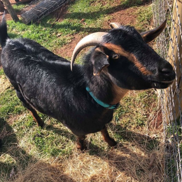 Photo of Henry The Goat