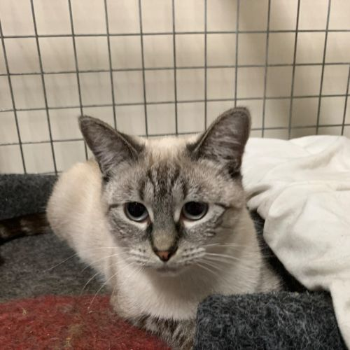 Effie - Ragdoll x Siamese Cat