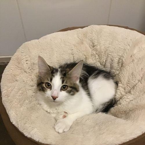 Monty Carlo - Domestic Short Hair Cat