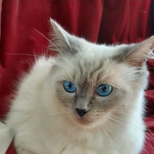 Inka - Ragdoll Cat