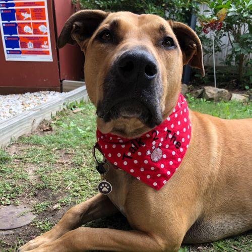 Lulu  - Labrador Dog