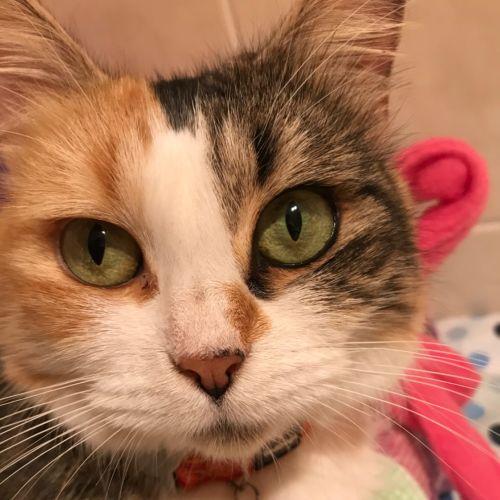 Patches - Domestic Medium Hair Cat