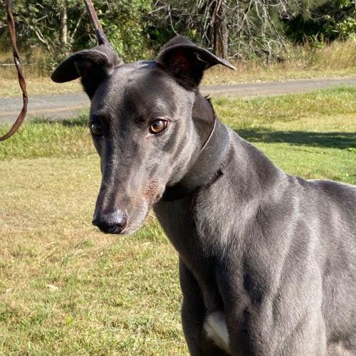 Buddha - Greyhound Dog