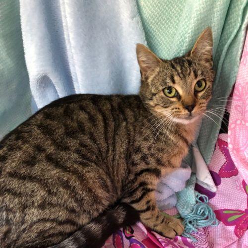Yasmin  - Domestic Short Hair Cat