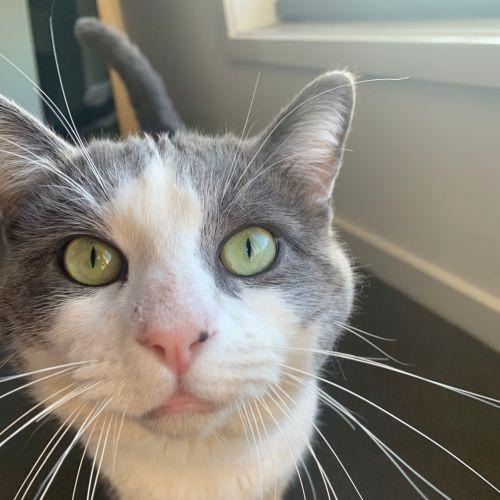 Winston - Domestic Short Hair Cat