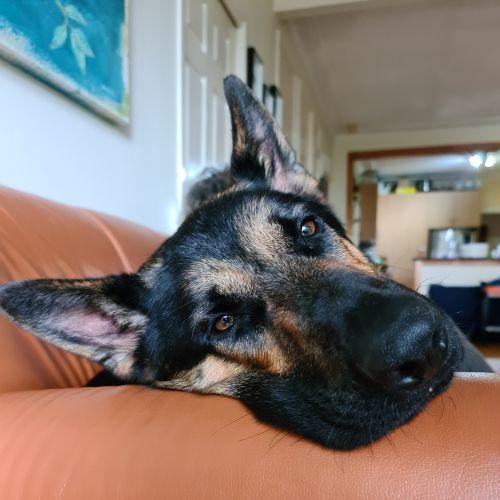 Bond - German Shepherd Dog