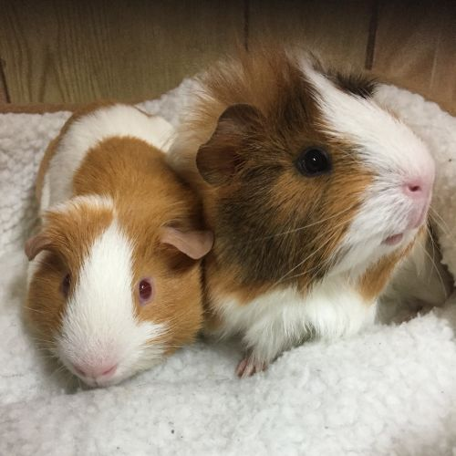 Piggy Smalls and Missy Piggins - Smooth Hair Guinea Pig