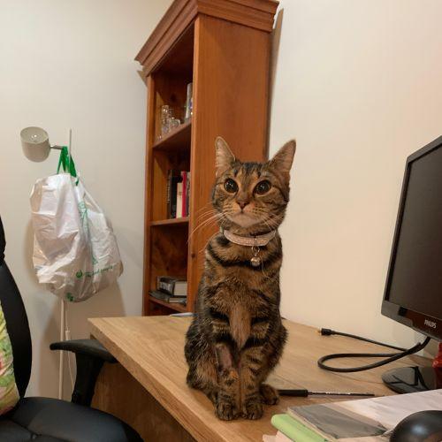 Sweetpea - Domestic Short Hair Cat