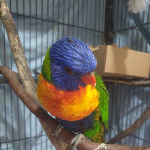 Zazu -  Bird