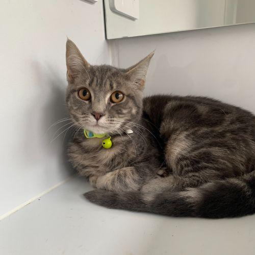 Raff - Domestic Short Hair Cat
