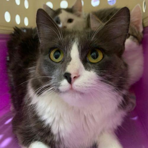 Pumpkin  - Domestic Medium Hair Cat