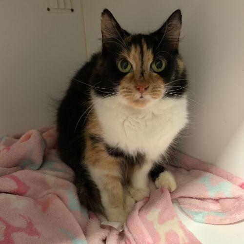 Tara - Domestic Medium Hair Cat