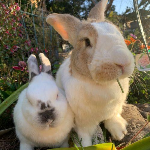 Roger & Snowy  - Flemish Giant Rabbit
