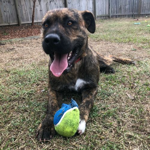 Rollo ~ $150 Adoption Fee ~ - Irish Wolfhound Dog