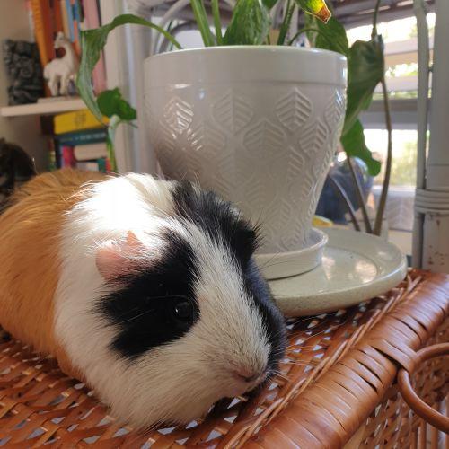 Meatball - Guinea Pig