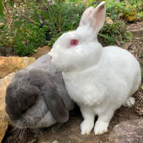 Elodie & Fergus - Mini Lop Rabbit