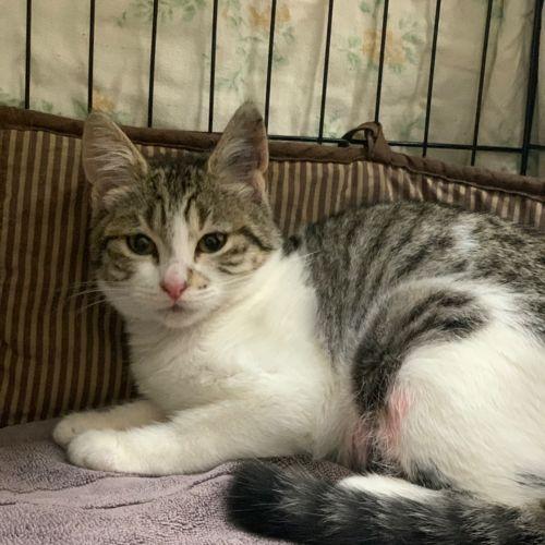 Helen - Domestic Short Hair Cat