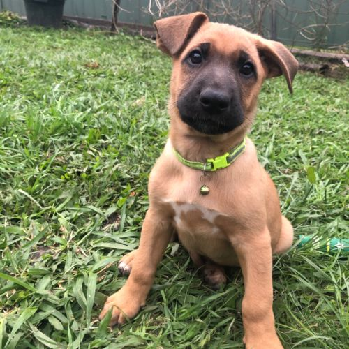 Gabriel - German Shepherd Dog