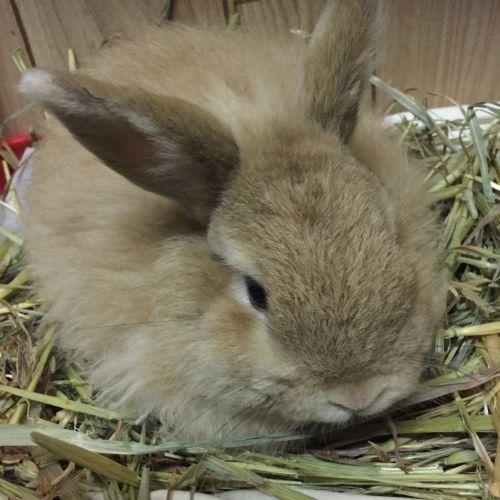 Zeus - Angora Rabbit