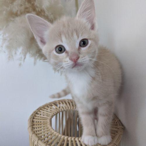 Moet - Domestic Short Hair Cat