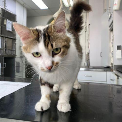 Watson - Domestic Medium Hair Cat