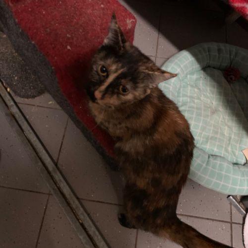 Ari - Domestic Short Hair Cat