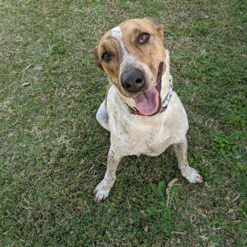 Sadie - Australian Cattle Dog x Whippet Dog
